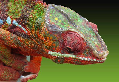 DIGITAL-COLOR-LEVEL 1-SILVER-PSYCHEDELIC LIZARD-BARBARA KLIMCZAK