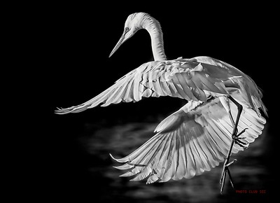 DIGITAL-MONO-MASTER-GOLD-GREAT WHITE EGRET-CAROL FELDHAUSER
