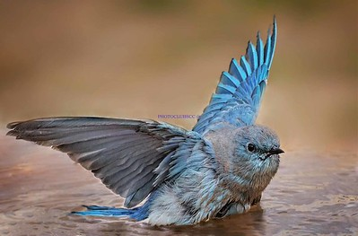 DIGITAL COLOR-LEVEL 2-GOLD-MOUNTAIN BLUEBIRD-CARIK FELDHAUSER