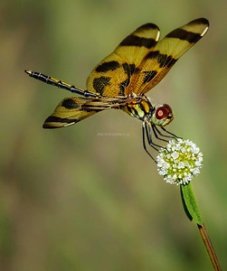 DIGITAL-COLOR-ADVANCED-GOLD-DRAGONFLY-CAROL FELDHAUSER