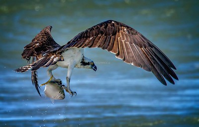 DIGITAL-COLOR-ADVANCED-GOLD-THE BEAUTY OF AN OSPREY-CAROL FELDHAUSER