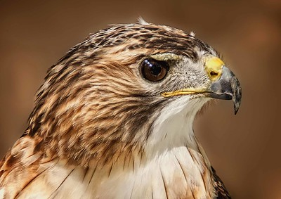 DIGITAL-COLOR-ADVANCED-GOLD-EASTERN RED TAILED HAWK-CAROL FELDHAUSER