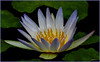 DIGITAL-COLOR-ADVANCED-A WATER LILY IN FULL BLOOM-ANN JACQUES