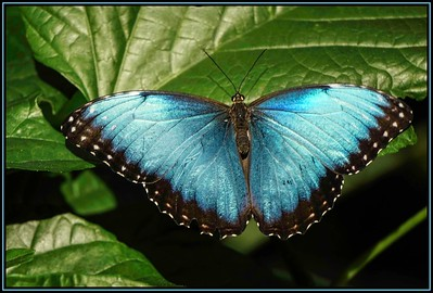 PRINT-COLOR-LEVEL 1-GOLD-SUN BATHING, BLUE MORPHO-CELIA STAPLES