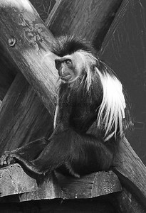 PRINT-MONO-ADVANCED-SILVER-MONKEY BUSINESS-PAT JONES
