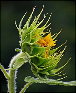 DIGITAL-COLOR--UNASSIGNED-GOLD-SUNFLOWER SIDE VIEW-ANN JACQUES