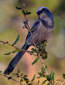 PRINT-COLOR-UNASSIGNED-GOLD-ENDANGERED FLORIDA SCRUB JAY-JACK MIGLIORE