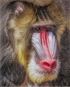 PRINT-COLOR-MASTER-SILVER-THE MANDRILL-JACKIE HANSON