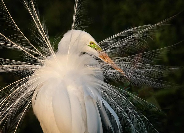 DIGITAL-COLOR-MASTER-SILVER-GREAT WHITE EGRET-CAROL FELDHAUSER