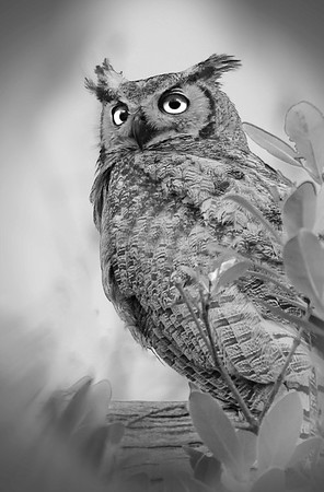 PRINT-MONO-MASTER-GOLD-BRIGHT EYE OWL-PAT JONES