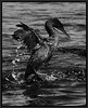 PRINT-MONO-UNASSIGNED-SILVER-FLIGHTLESS CORMORANT-GEORGE SEELEY