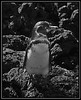 PRINT-MONO-UNASSIGNED-SILVER-GALAPAGOS PENGUIN-GEORGE SEELEY