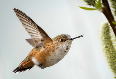 DIGITAL-COLOR-MASTER-GOLD-RUFOUS HUMMINGBIRD-CAROL FELDHAUSER