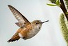 DIGITAL-COLOR-MASTER-GOLD-RUFOUS HUMMINGBIRD-CAROL FELDHAUSER
