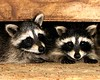 DIGITAL-COLOR-INTERMEDIATE-SILVER-RACCOON ORPHANS-TOM BREDESEN