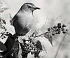 PRINT-MONO-MASTER-GOLD-CAT BIRD BERRY FESTIVAL-JACK MIGLIORE