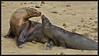 DIGITAL-COLOR-INTERMEDIATE-SILVER-SEA LION WITH PUP-GEORGE SEELEY