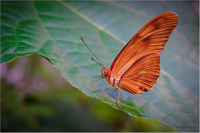 DIGITAL-COLOR-UNASSIGNED-GOLD-ORANGE BUTTERFLY-CHARLES DAVANZO