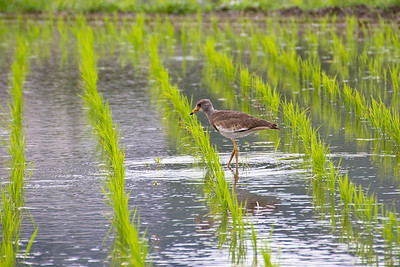Bird in Rice Field