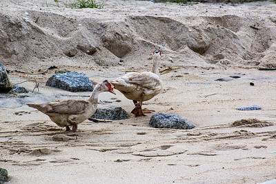 Sandy Ducks