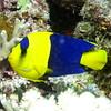 12 Bicoloured Angelfish