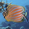 01 Ornate butterfly fish