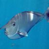 54 unicorn fish