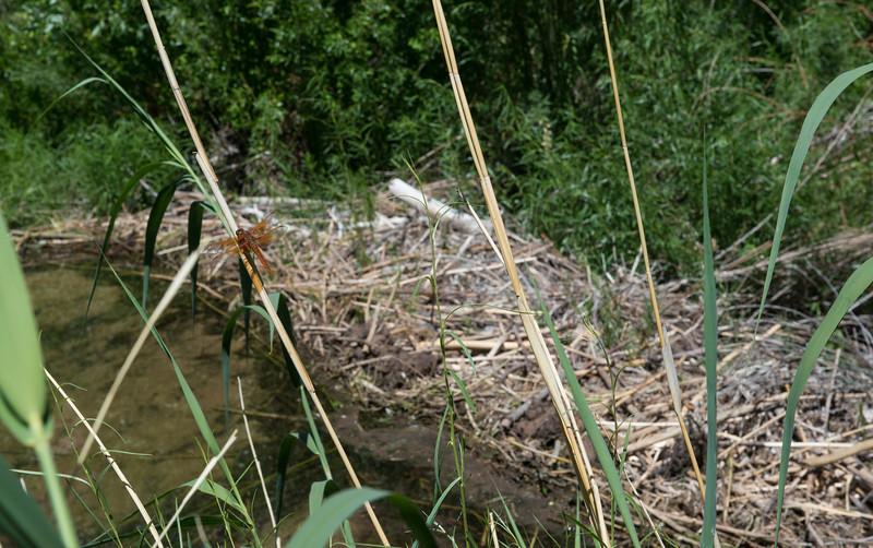 Beaver dam Upper Calf Creek