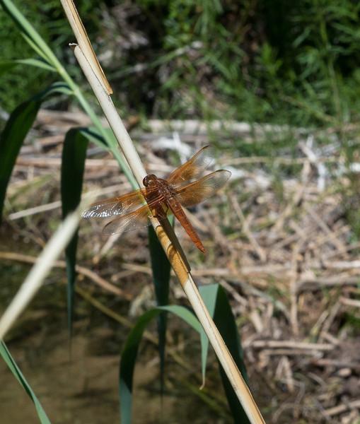 Dragonfly Upper Calf Creek