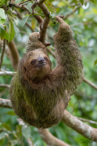 The Walking Ecosystem - A Three-toed Sloth  tree climbing in Costa Rica. It's shaggy coat has grooved hair that is host to symbiotic green algae which camouflages it in the trees and provides it nutrients. Because of the algae, sloth fur is a small ecosystem of its own, hosting many species of commensal and parasitic arthropods . The algae also nourishes sloth moths. They in turn are responsible for fertilizing algae on the sloth, which provides the sloth with nutrients.