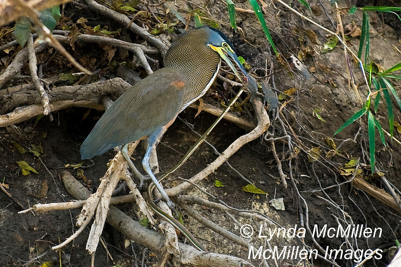 Tiger heron held the head, stood on the body and then snapped the snakes neck!