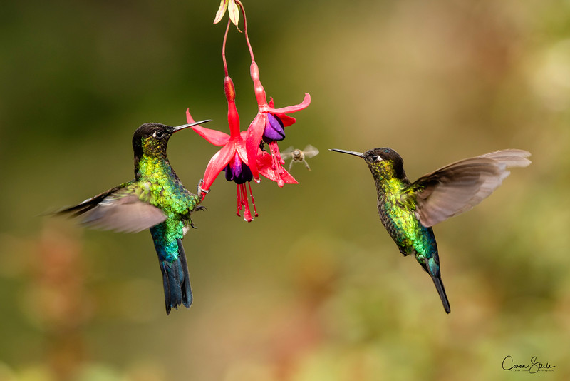 A Hover Of Hummingbirds - Two gorgeous Fiery-throated Hummingbird, (Panterpe insignis) hovering around a fuschia plant, generally doing battle with the small bees as they competed for the nectar.