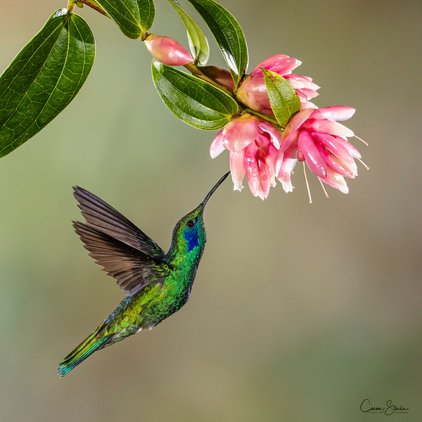 A Green Violetear (Colibri thalassinus) hovering to feed in Costa Rica. I'm blown away by how beautiful all the hummingbirds were in Costa Rica - so delicate and colourful.