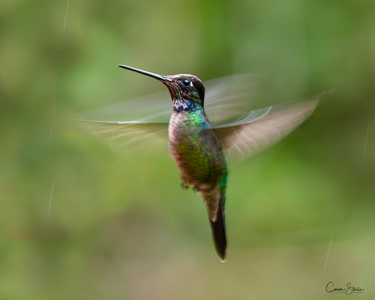 A Talamanca hummingbird (Eugenes spectabilis) hovering  for a split second, in the rain in Costa Rica.