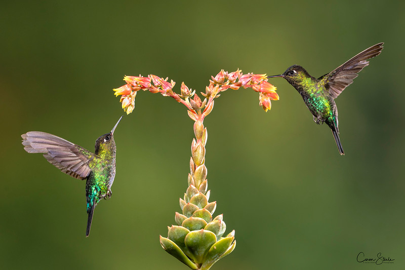 Two Fiery-throated Hummingbirds (Panterpe insignis) feeding on one of the exotic plants we found in Costa Rica