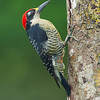 Black Cheeked Woodpecker