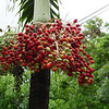 Some berries growing on a host palm tree