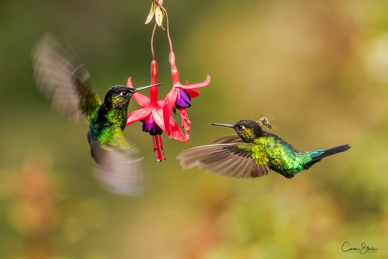 THE HITCHHIKER - my favourite photo from Costa Rica, Two Fiery-throated Hummingbirds, (Panterpe insignis) feeding on a fuchsia plant. A small bee appears to have hitched a ride as they hover to gather the nectar.