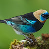 Gold Hooded Tanager