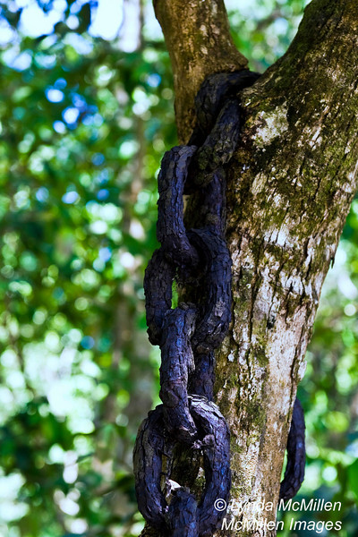 Ancient anchor chain slung over and now grown into tree trunk.