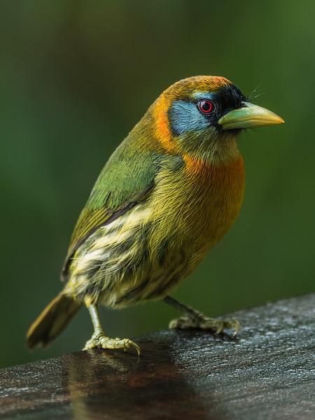 Red Headed Barbet (female)