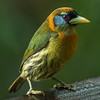 Red Headed Barbet (female)