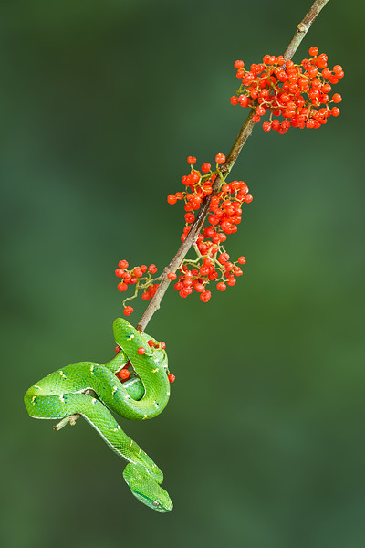Green Palm Pit Viper