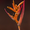 Heliconia with Praying Mantis