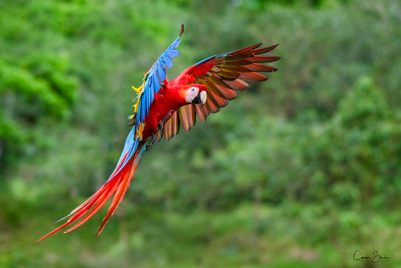 A aptl named and brightly coloured Scarlet Macaw (Ara macao) flying through the countryside in Costa Rica