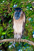 Boat Billed Night Heron.