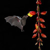 Long Tongued Bat