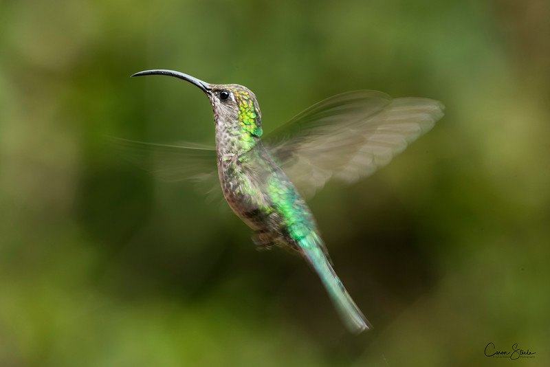 A beautiful female Violet Sabrewing Hummingbird (Campylopterus hemileucurus) in flight. Shot at 1/60th second to get the wing blur. So tricky to keep the eyes sharp at that shutterspeed.