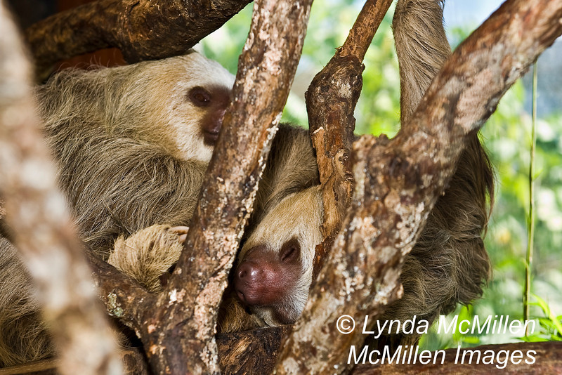 Sleeping Sloths.