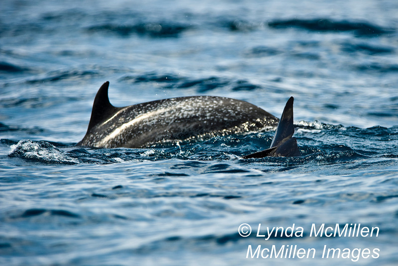 Spotted dolphin.
